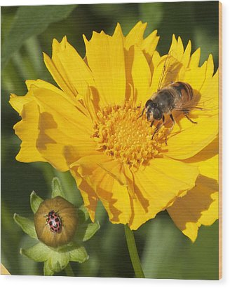 Bee And Ladybug On Coreopsis Wood Print