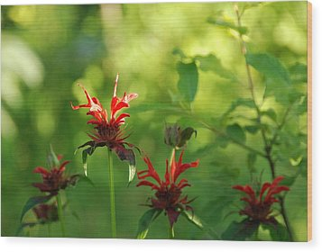 Bee Balm Wood Print by Gerald Hiam