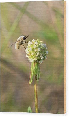 Bee Fly On A Wildflower Wood Print by Christopher L Thomley