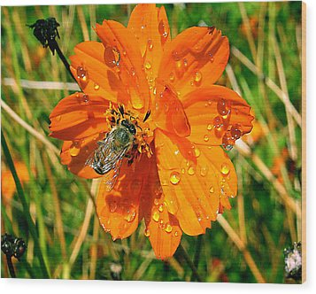 Wood Print featuring the photograph Bee Gathering Pollen On Desert Cosmos by Merton Allen