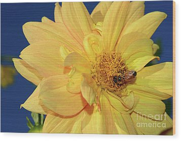 Bee On Pretty Dahlia By Kaye Menner Wood Print by Kaye Menner
