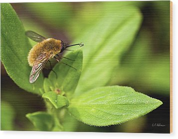 Beefly Wood Print by Christopher Holmes
