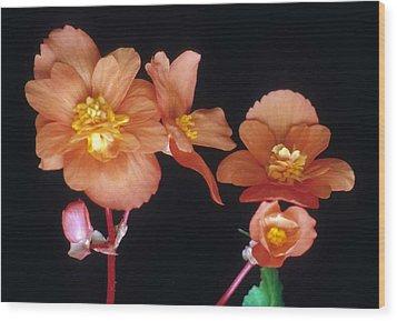 Begonia Buddies Wood Print by Laurie Paci