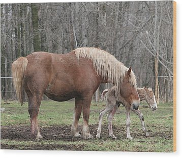Belgian Foal First Steps Wood Print by Laurie With