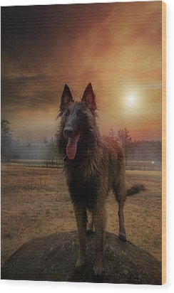 Belgian Shepherd Wood Print