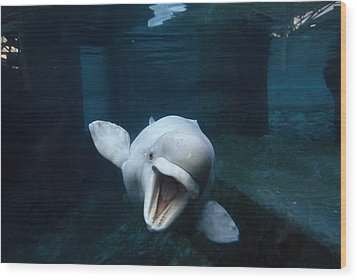 Beluga Whale Swimming With An Open Wood Print by Paul Sutherland