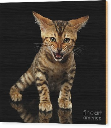 Bengal Kitty Stands And Hissing On Black Wood Print by Sergey Taran