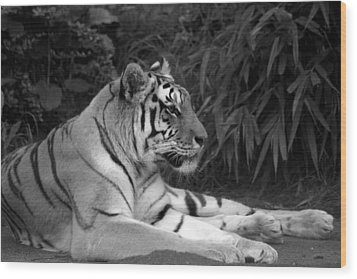 Bengal Tiger Wood Print by Sonja Anderson