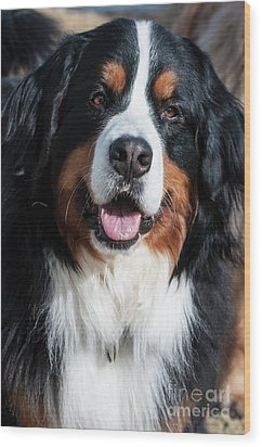 Wood Print featuring the photograph Bernese Mountain Dog Portrait  by Gary Whitton