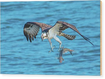 Best Osprey With Fish In One Talon Wood Print by Jeff at JSJ Photography