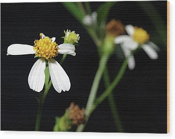 Wood Print featuring the photograph Bidens Alba by Richard Rizzo