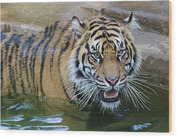 Wood Print featuring the photograph Big Cat by Elizabeth Budd