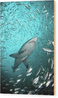Big Raggie Swims Through Baitfish Shoal Wood Print by Jean Tresfon