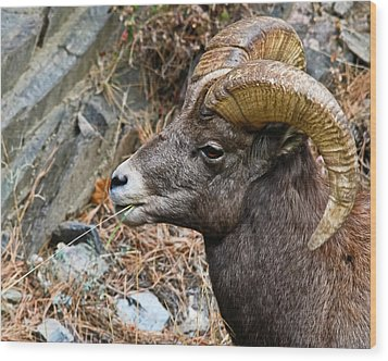Bighorn Ram Hayseed Wood Print by Harry Strharsky