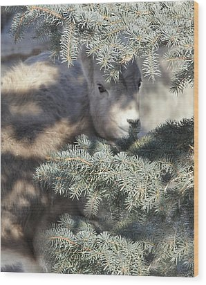 Wood Print featuring the photograph Bighorn Sheep Lamb's Hiding Place by Jennie Marie Schell