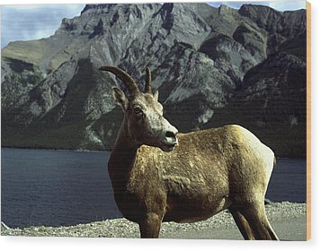 Wood Print featuring the photograph Bighorn Sheep by Sally Weigand