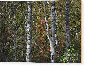 Wood Print featuring the photograph Birches by Elena Elisseeva