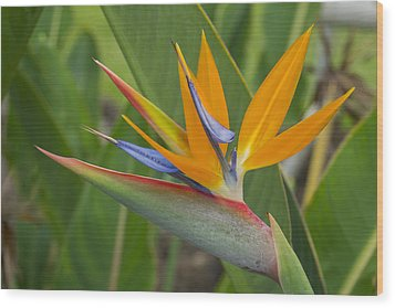 Bird Of Paradise Wood Print by Christina Lihani