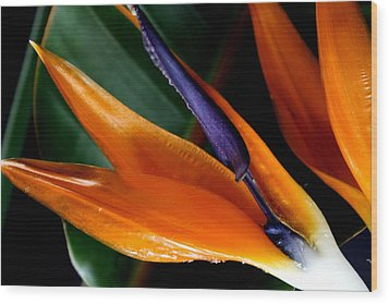 Bird Of Paradise Wood Print by Diane Merkle