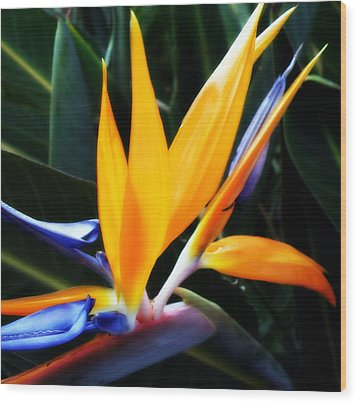 Bird Of Paradise Wood Print by Rose  Hill