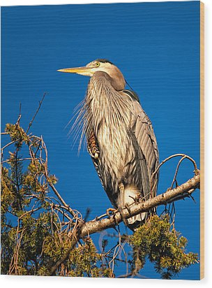 Birds Of Bc - No.7 - Great Blue Heron - Ardea Herodias Wood Print by Paul W Sharpe Aka Wizard of Wonders