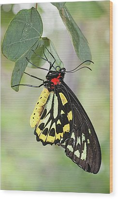 Wood Print featuring the photograph Birdwing Butterfly I by Dawn Currie