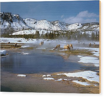 Biscuit Basin Elk Herd Wood Print