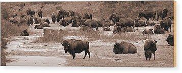 Bison At Salt Fork Arkansas River Kansas Wood Print