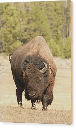 Bison Wood Print by Corinna Stoeffl, Stoeffl Photography