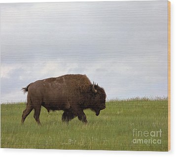 Bison On The American Prairie Wood Print by Olivier Le Queinec