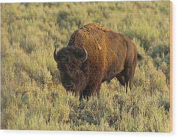 Bison Wood Print by Sebastian Musial