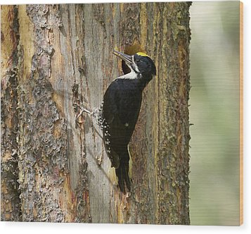 Black-backed Woodpecker Wood Print by Doug Herr