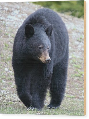 Black Bear At Banff National Park Wood Print by Jetson Nguyen