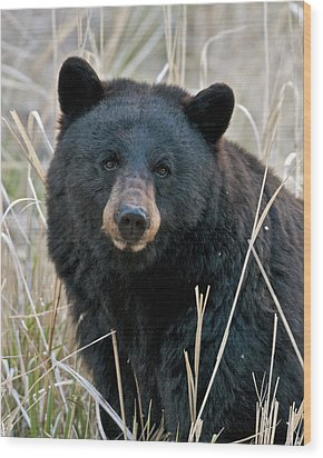 Black Bear Closeup Wood Print