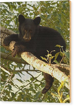 Black Bear Cub Resting On A Tree Branch Wood Print