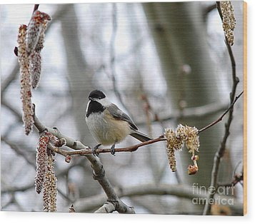 Wood Print featuring the photograph Black-capped Chickadee 20120321_39a by Tina Hopkins