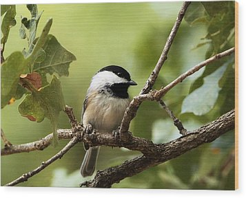 Black Capped Chickadee On Branch Wood Print by Sheila Brown