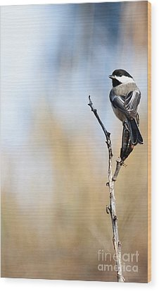 Black-capped Chickadee Wood Print by Shevin Childers