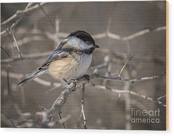 Black-capped Chickadee Iv Wood Print