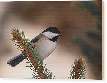 Black-capped Cickadee II Wood Print