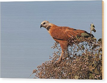 Black-collared Hawk, Pantanal Wood Print