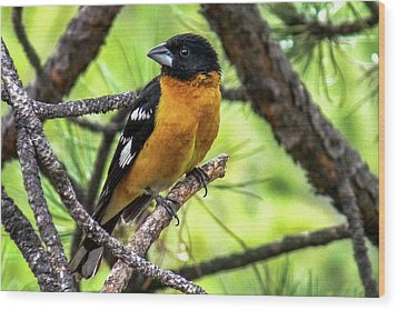 Black-headed Grosbeak Wood Print