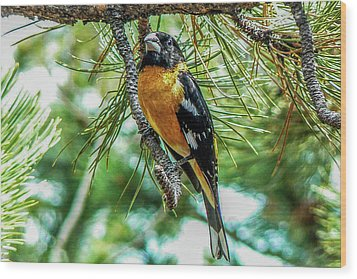 Black-headed Grosbeak On Pine Tree Wood Print