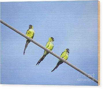 Black Hooded Parakeet Trio Wood Print by Terri Mills