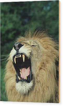 Black-maned Male African Lion Yawning, Headshot, Africa Wood Print by Tom Brakefield