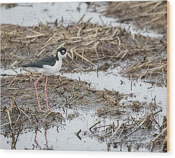 Black-necked Stilt 2017-1 Wood Print by Thomas Young