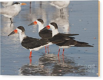 Black Skimmer Birds Wood Print
