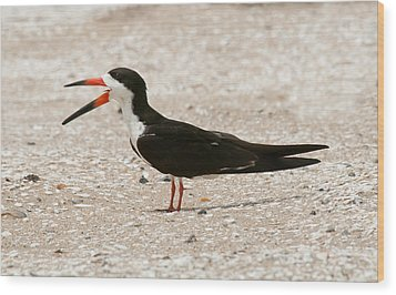 Black Skimmer On Assateague Island Wood Print by Lara Ellis