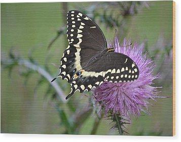 Black Swallowtail Butterfly - Papilio Polyxenes 1 Wood Print
