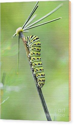 Black Swallowtail Caterpillar Wood Print by Debbie Green
